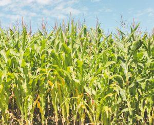 «Разгуляй» в 2014 г вдвое увеличит площадь посевов кукурузы