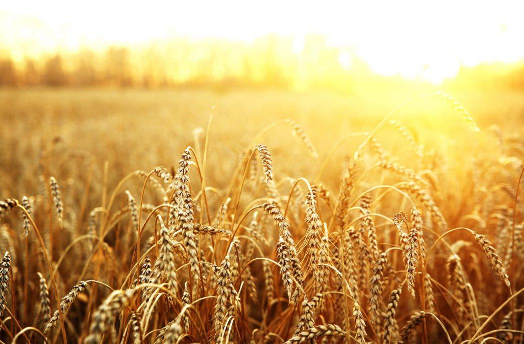 На полях Новосибирской области резко выросло количество пшеницы