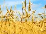 Россия становится зерновой сверхдержавой в связи с резким ростом экспорта пшеницы