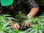 В Канаде производитель удобрений повысит качество выращиваемой конопли