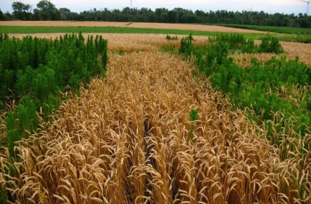 Устойчивые к гербицидам сорняки могут уничтожить до половины урожая американских фермеров