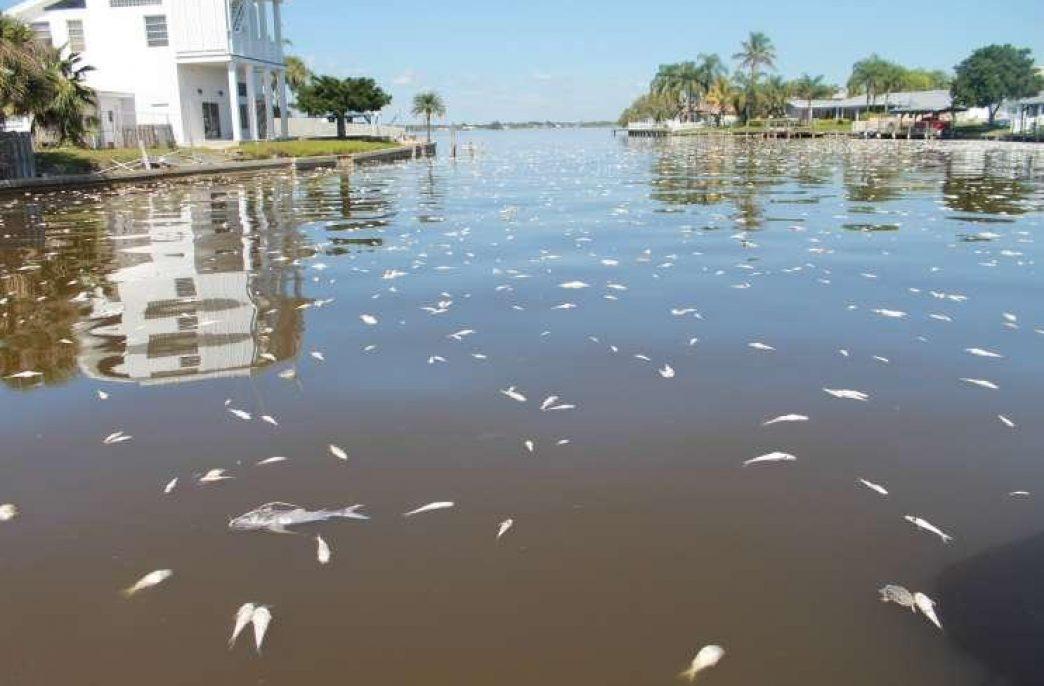 Цветение водорослей на побережье Флориды достигло катастрофических масштабов