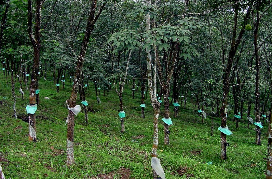 В Индии разработано первое в мире онлайн приложение по расчету удобрений для каучуковых ферм