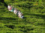 Гербицидный кризис в Шри-Ланке – запрет на глифосат ведет к росту издержек на борьбу с сорняками