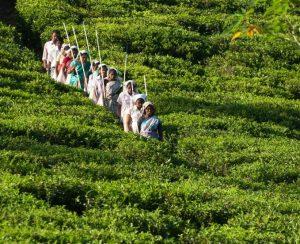 Гербицидный кризис в Шри-Ланке — запрет на глифосат ведет к росту издержек на борьбу с сорняками