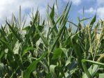 Кукуруза по технолоии Enlist начнет свой старт в США и Канаде уже в следующем году