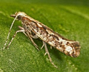 Корнеллский университет разработал генетически модифицированную капустную моль