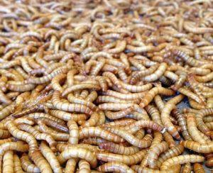 Новый стартап Beta Hatch — от мучных червей до удобрений и кормов для рыб и кур
