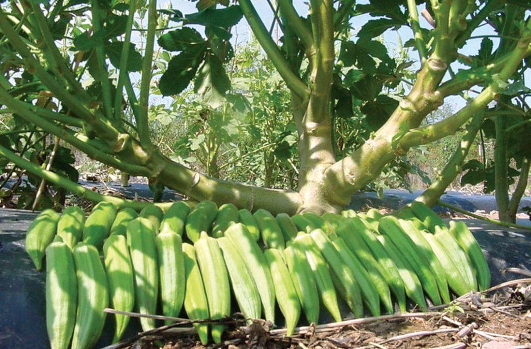 Дамские пальчики, выращиваемые в мешках — опыт индийского фермера