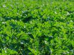 Расчет необходимого количества азота в удобрениях будут определять по листьям растений