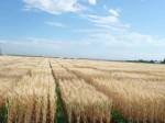 Рекомендации Университета штата Монтана по правильному расчету нутриентов для озимой пшеницы