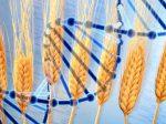 Пакистанские ученые разработали новый генетически модифицированный сорт пшеницы, требующий меньше удобрений