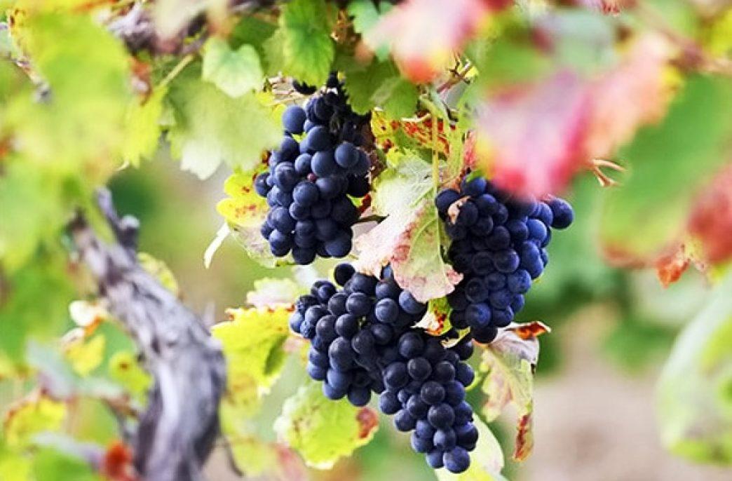 Что такое органическое виноделие?