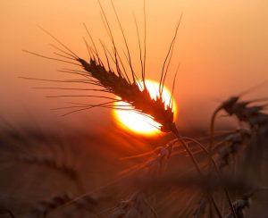 Россия может стать мировым лидером на рынке зерна
