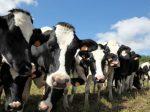 Новая технология «подключенной коровы» компании Fujitsu повышает эффективность искуственного осеменения скота до 90%