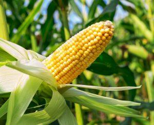 ЮАР: ударим кукурузой по удобрениям!