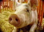 Фермеры в штате Миннесота опробуют систему мониторинга для свиноферм на основе платформы Google Cloud в феврале 2018 года