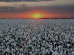 На юге России снова будут выращивать хлопок