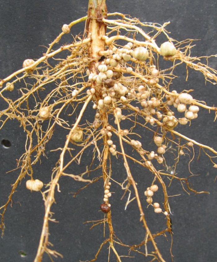 корневая система бобовых картинка имеет четыре цилиндра