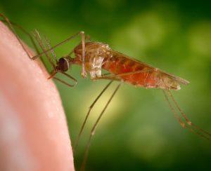 Удобрения провоцируют размножение комаров