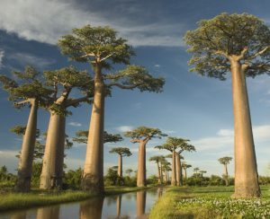 Avenira ставит на Baobab