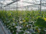 В Коми возводится крупный тепличный комплекс