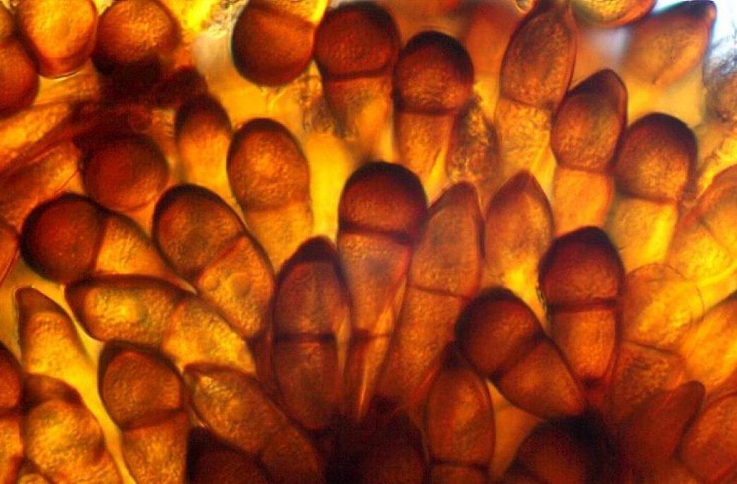 Стеблевую ржавчину можно диагностировать по-новому