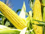 CVR Partners уповает на кукурузу