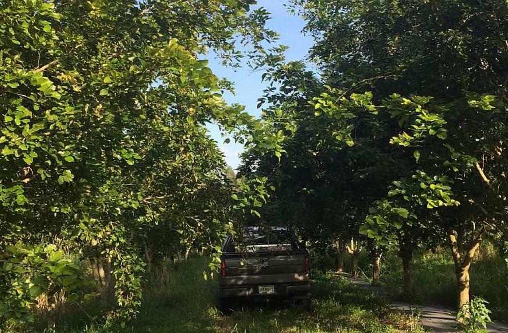 Каранджа может заменить цитрусовые в США