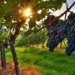В Дагестане заложат новые виноградники
