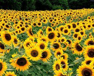 «Солнечные продукты» развивают сотрудничество с BASF