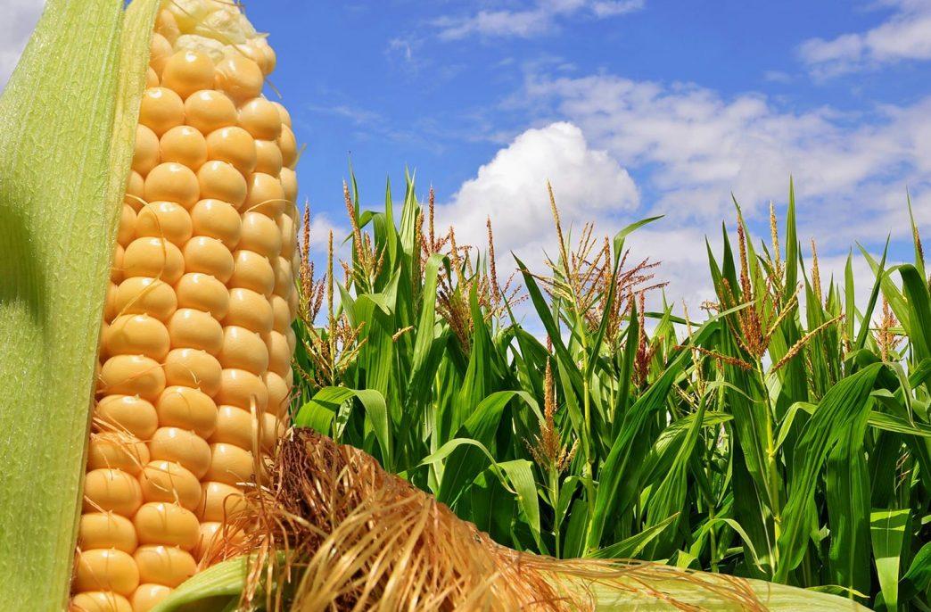 В США сократятся посевы сои и кукурузы