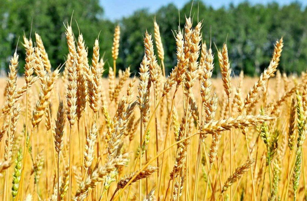 На Южном Урале хотят уйти от пшеницы.