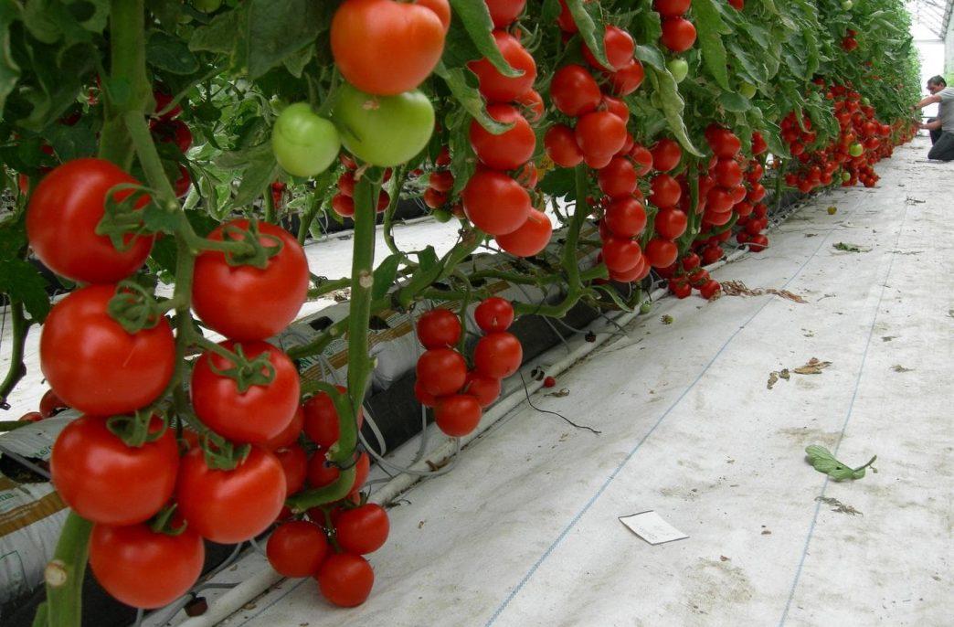 Липецкая область удвоит выращивание овощей в теплицах