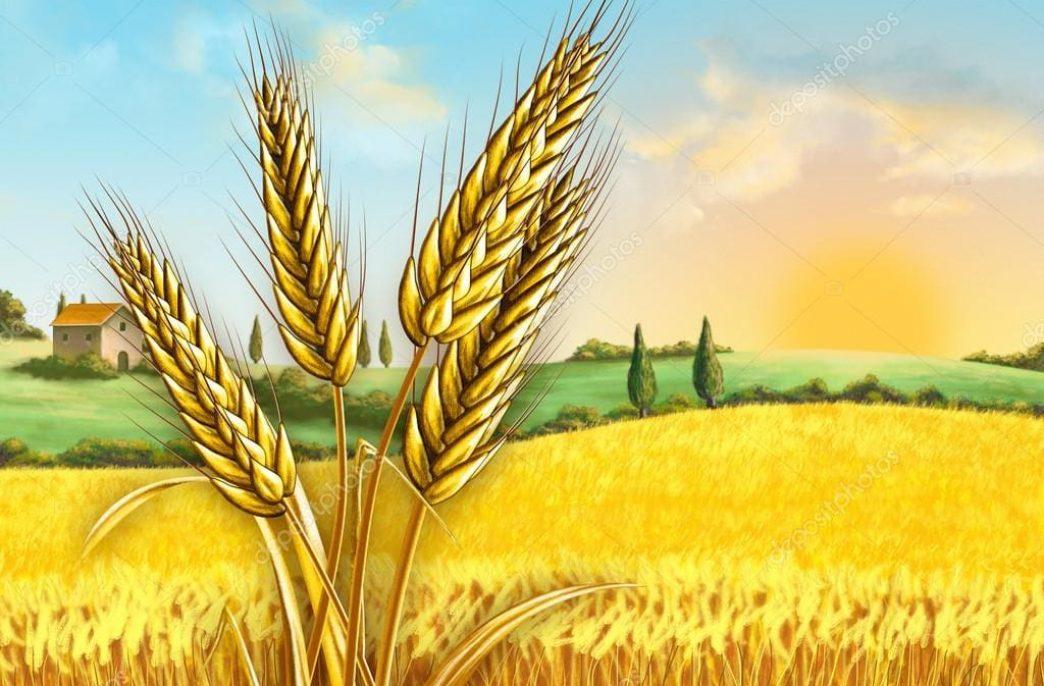 На планете ожидается хороший урожай пшеницы