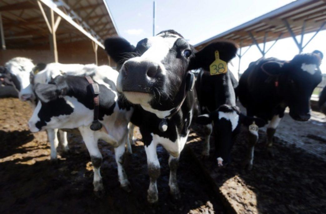 За коровами будет следить искуственный интеллект