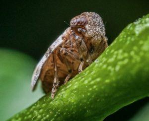 Новый инсектицид поможет справиться с рисовой цикадкой
