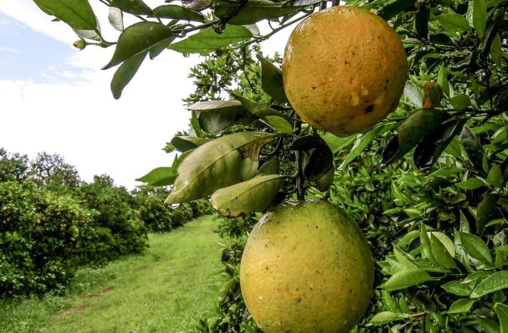 Ученые пока не нашли решения против позеленения цитрусовых