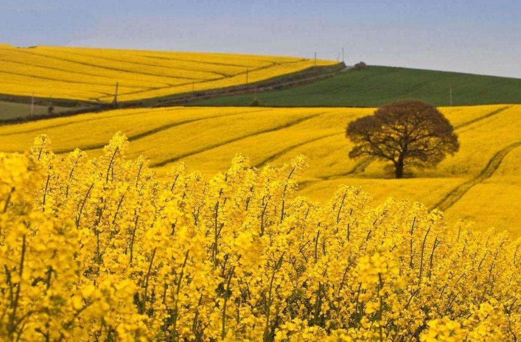 Урожай рапса на планете может достигнуть 66,5 млн. тонн