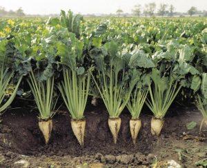 Пензенские фермеры выполнили план по севу сахарной свеклы