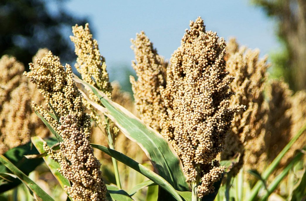 В США может сократиться урожай сорго
