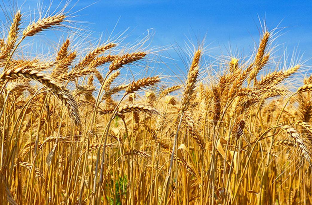 Урожаю зерновых на планете грозит серьезное снижение