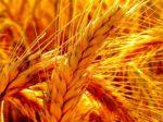 Урожай зерна в России может сократиться