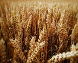Россия продолжит быть крупнейшим экспортером пшеницы