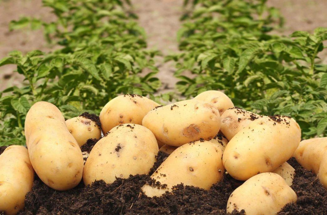 «АФГ Националь» создаст картофельный кластер в Вологодской области