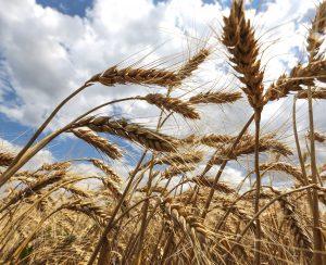 В Ростовской области подкормлено свыше 2,42 млн. га посевов