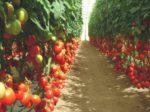 В Липецкой области возводят томатный комплекс