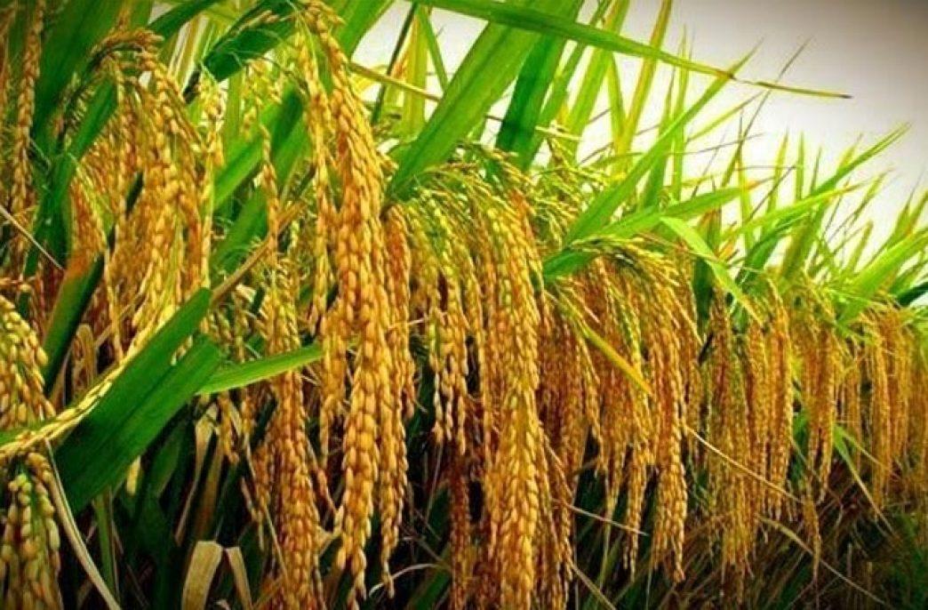 Гибридный рис поможет победить голод