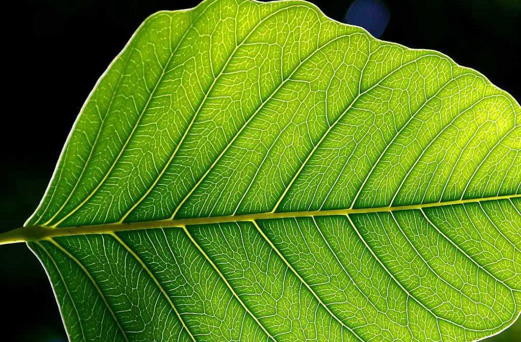 Цианобактерии помогут растениям извлекать азот из воздуха