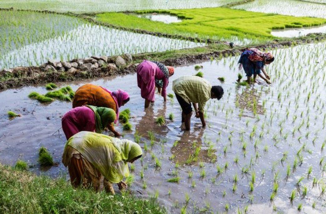 Редактирование генома риса может остановить азотное загрязнение